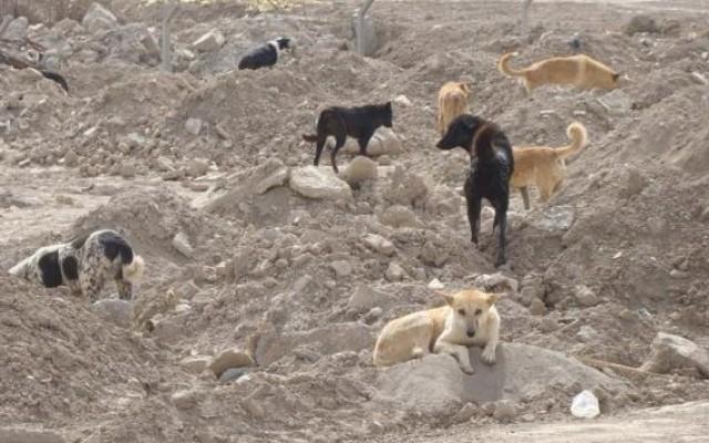 الكلاب السائبة