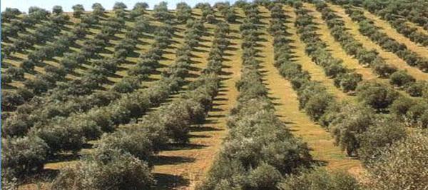 اشجار الزيتون