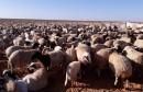 تربية الماشية